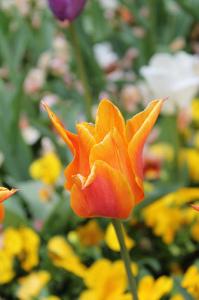 Ananda Tulip