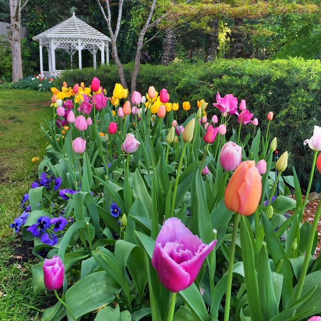 spring tulips at ananda nevada city